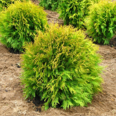THUJA occidentalis GOLDEN GLOBE (Thuya du Canada Golden Globe)
