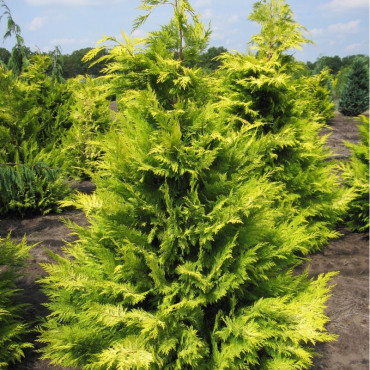 CHAMAECYPARIS lawsoniana GOLDEN WONDER (Cyprès de Lawson Golden Wonder)