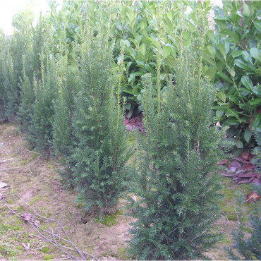TAXUS x media STRAIT HEDGE (If hybride Strait Hedge)