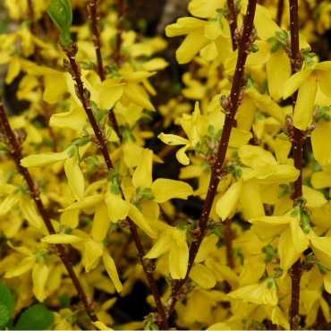 FORSYTHIA x intermedia WEEK END Courtalyn cov (Forsythia Week-end ®) - Mon jardin éclatant