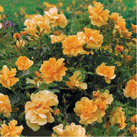 ROSIER CALIZIA ® (Rosiers couvre-sol)