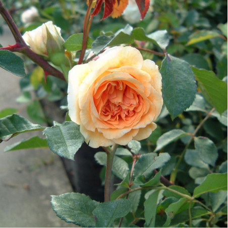 ROSIER BUFF BEAUTY (Rosier ancien)