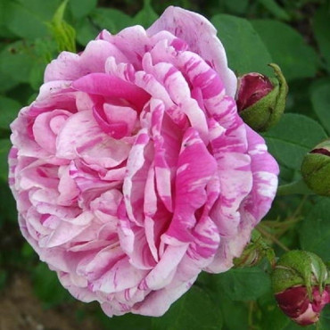 ROSIER HONORINE DE BRABANT (Rosier ancien)