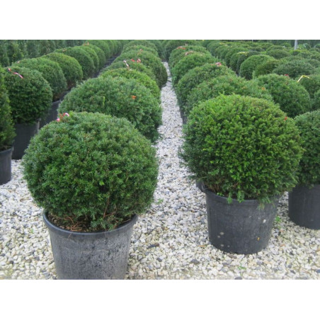 TAXUS baccata FORME BOULE (If commun)