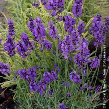 LAVANDULA HEAVENLY BLUE (Lavande Heavenly Blue)