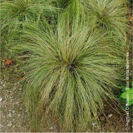 CAREX comans FROSTED CURLS (Laîche comans Frosted Curls)