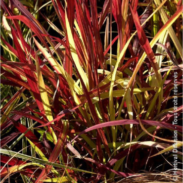 IMPERATA cylindrica RED BARON (Imperata Red Baron)