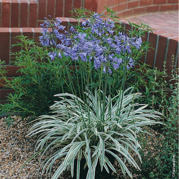 AGAPANTHUS SILVER MOON ® Notfred cov (Agapanthe caduque Silver Moon)