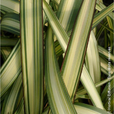 PHORMIUM cookianum CREAM DELIGHT (Lin de Nouvelle-Zélande Cream Delight)