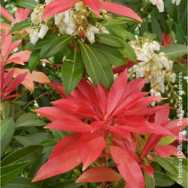 PIERIS FOREST FLAME (Andromède du Japon)