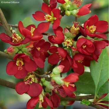 CHAENOMELES speciosa HOT FIRE ® Minvesu (Cognassier du japon Hot Fire ®)
