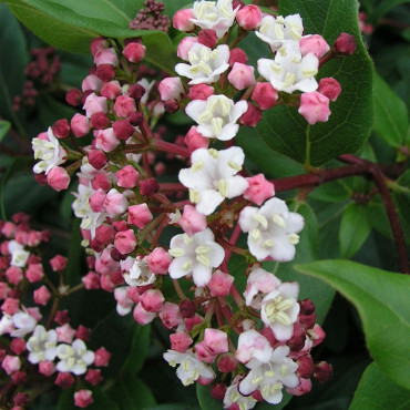 VIBURNUM tinus EVE PRICE FORME TOPIAIRE (Laurier tin Eve Price)