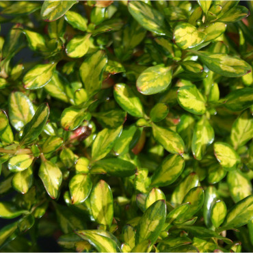 COPROSMA Lemon and Lime cov (Coprosma)