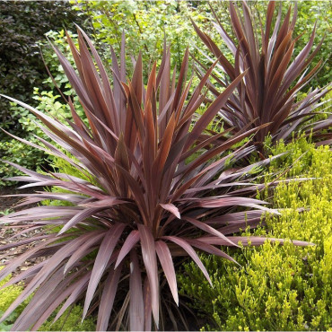 CORDYLINE australis RED STAR (Cordyline d'Australie Red Star)