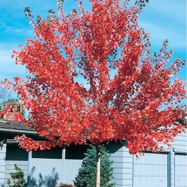 ACER platanoides PACIFIC SUNSET ® (Érable plane Pacific Sunset ®)