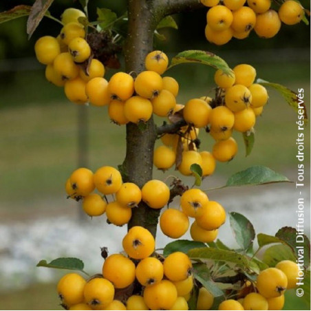 MALUS GOLDEN HORNET (Pommier d'ornement Golden hornet)