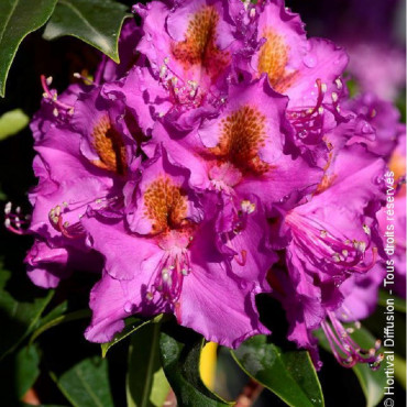 RHODODENDRON hybride RED EYE (Rhododendron mauve RED EYE)