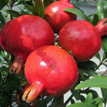 PUNICA granatum (Grenadier à fruits)