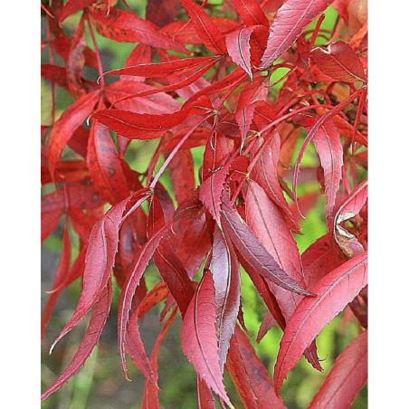 FRAXINUS angustifolia RAYWOOD (Frêne d'Australie Raywood)