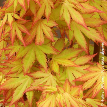 ACER palmatum Orange Dream (Érable du Japon palmé Orange Dream)