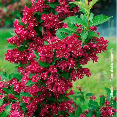 WEIGELA RED PRINCE (Weigelia)
