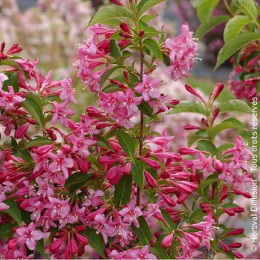 WEIGELA BRISTOL RUBY (Weigelia)