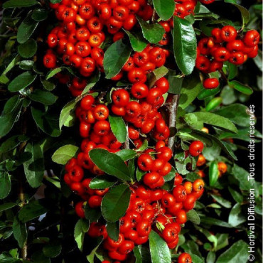 PYRACANTHA SAPHYR ROUGE ® (Buisson ardent)