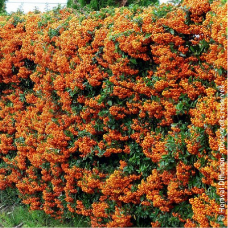 PYRACANTHA SAPHYR ORANGE ® (Buisson ardent)