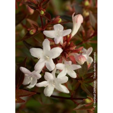 ABELIA grandiflora SHERWOOD (Abélia à grandes fleurs Sherwood)