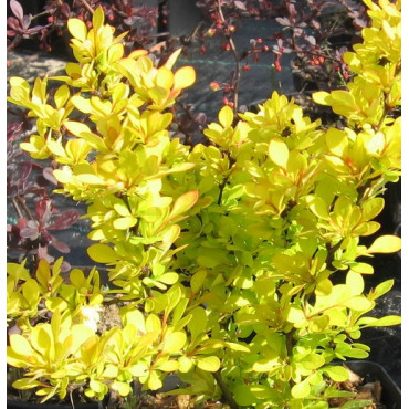 BERBERIS thunbergii GOLDEN TORCH ® (Épine vinette)