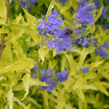 CARYOPTERIS clandonensis WORCESTER GOLD (Barbe bleue)