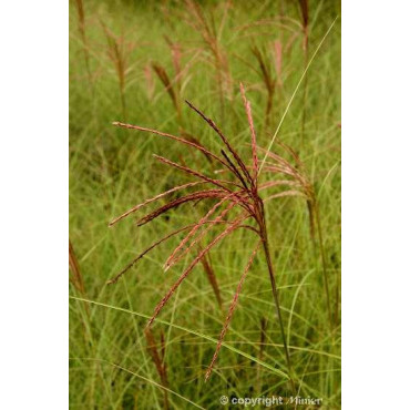 MISCANTHUS sinensis MORNING LIGHT (Roseau de Chine MORNING LIGHT, miscanthus, Eulalie)