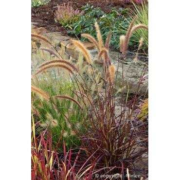 PENNISETUM setaceum RUBRUM (Herbe aux écouvillons)