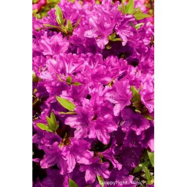 AZALEA japonica PURPLE SPLENDOR (Azalée japonaise violet Purple Splendor)