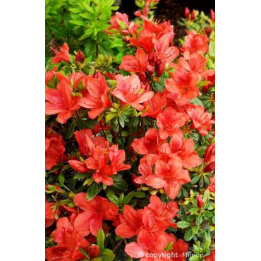 AZALEA japonica ORANGE WAY (Azalée japonaise orange Way)