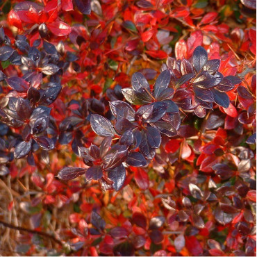 BERBERIS media RED JEWEL (Épine vinette)