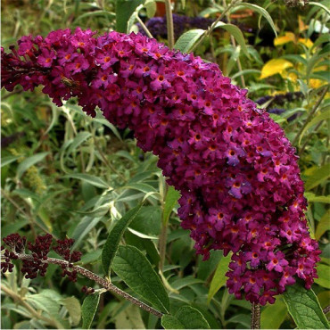 BUDDLEIA davidii ROYAL RED (Arbre aux papillons)