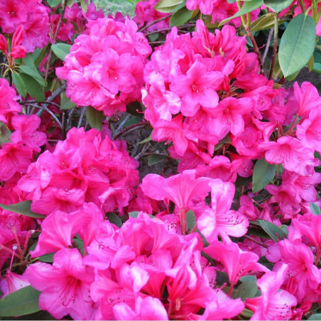 RHODODENDRON hybride ANNA ROSE WHITNEY (Rhododendron rose Anna Rose Whitney)