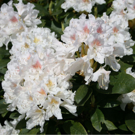 RHODODENDRON hybride CUNNINGHAM'S WHITE (Rhododendron blanc Cunningham's White)