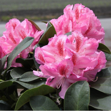 RHODODENDRON hybride FURNIVALL'S DAUGHTER (Rhododendron rose FURNIVALL'S DAUGHTER)