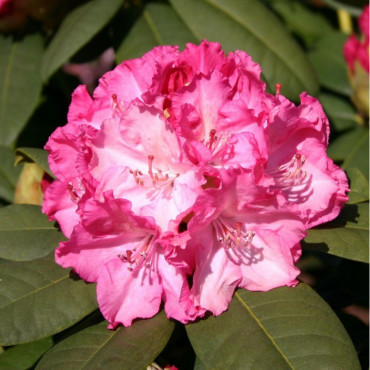 RHODODENDRON hybride GERMANIA (Rhododendron rose Germania)