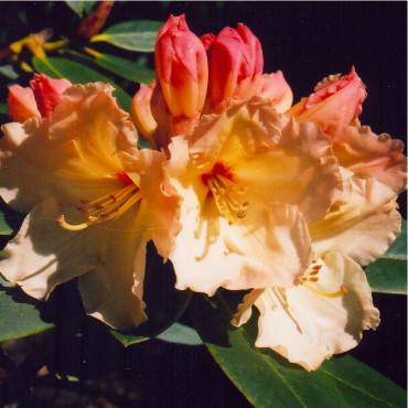 RHODODENDRON hybride HORIZON MONARCH (Rhododendron orange HORIZON MONARCH)