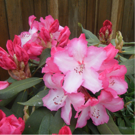 RHODODENDRON hybride LEM'S MONARCH (Rhododendron rose Lem's monarch)