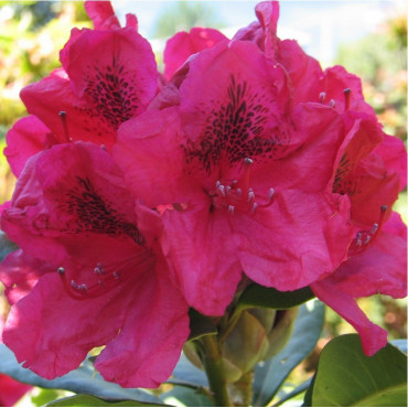 RHODODENDRON hybride LORD ROBERTS (Rhododendron rouge Lord Roberts)
