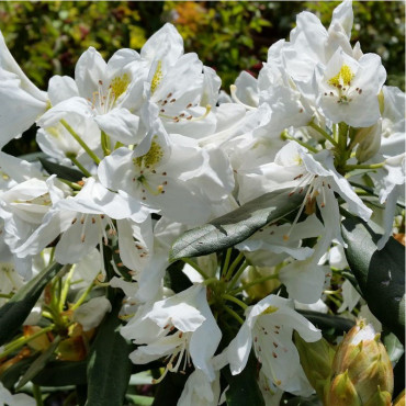 RHODODENDRON hybride MADAME MASSON (Rhododendron)