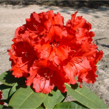 RHODODENDRON hybride RED JACK (Rhododendron rouge Red Jack)