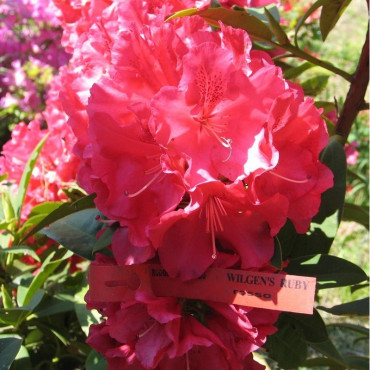RHODODENDRON hybride WILGENS RUBY (Rhododendron rouge Wilgens Ruby)