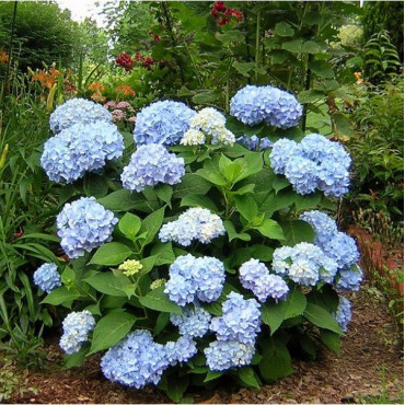 HYDRANGEA macrophylla ENDLESS SUMMER (R) Bailmer (Hortensia Endless Summer® The Original bleu)
