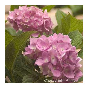 HYDRANGEA macrophylla ENDLESS SUMMER (R) Bailmer (Hortensia Endless Summer® The Original rose)