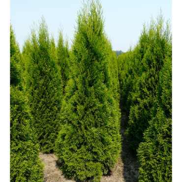 Thuja occidentalis ''Emeraude'' (THUYA D'ORNEMENT ÉMERAUDE)